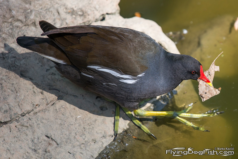 Common moorhen with a dry leaf
