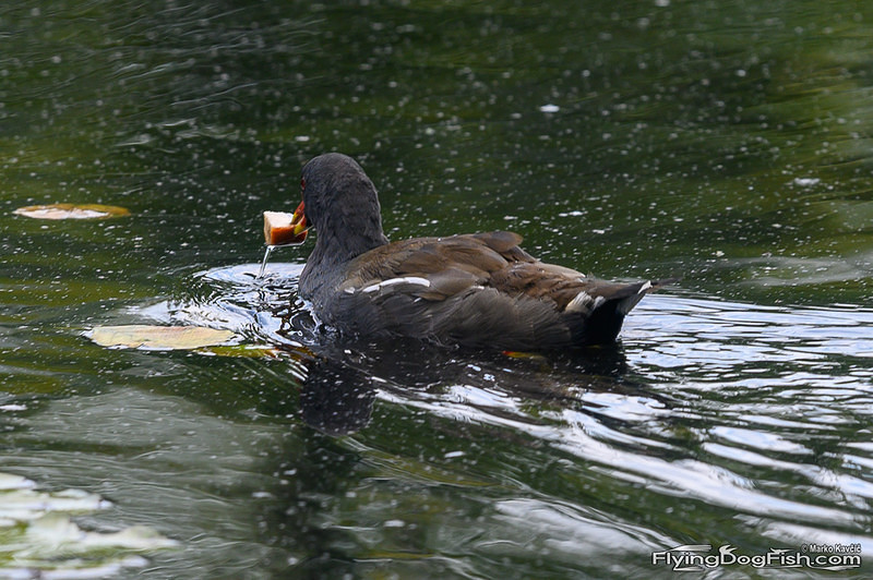 Moorhen with bread