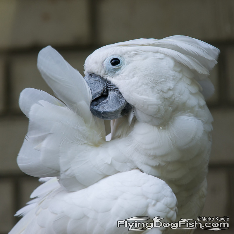 Cockatoo cleaning its feathers