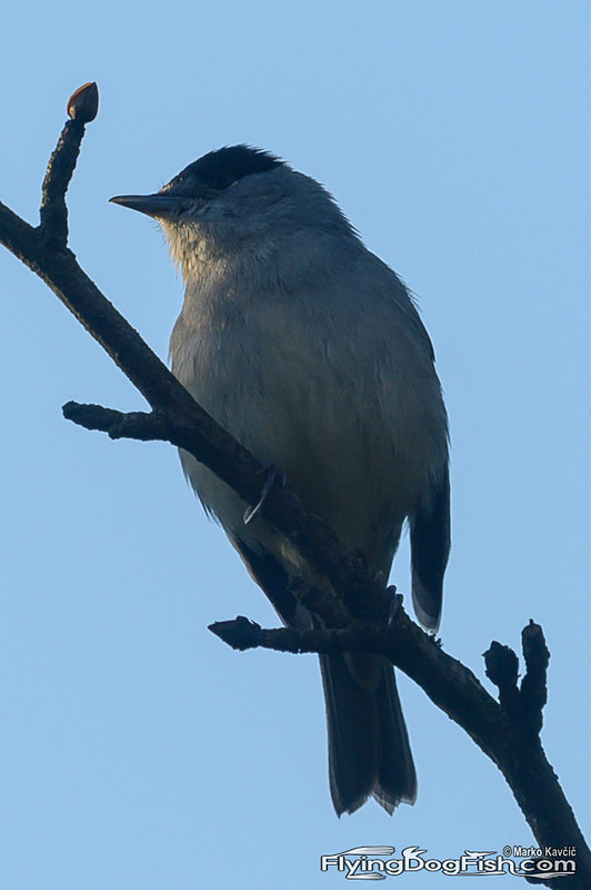 Blackcap on a branch