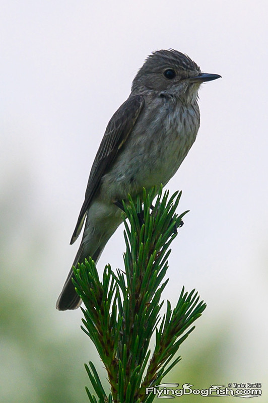 Spotted flycatcher lies in wait