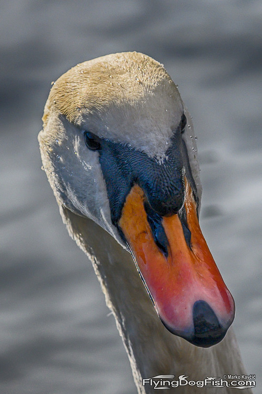 Swan's head closeup