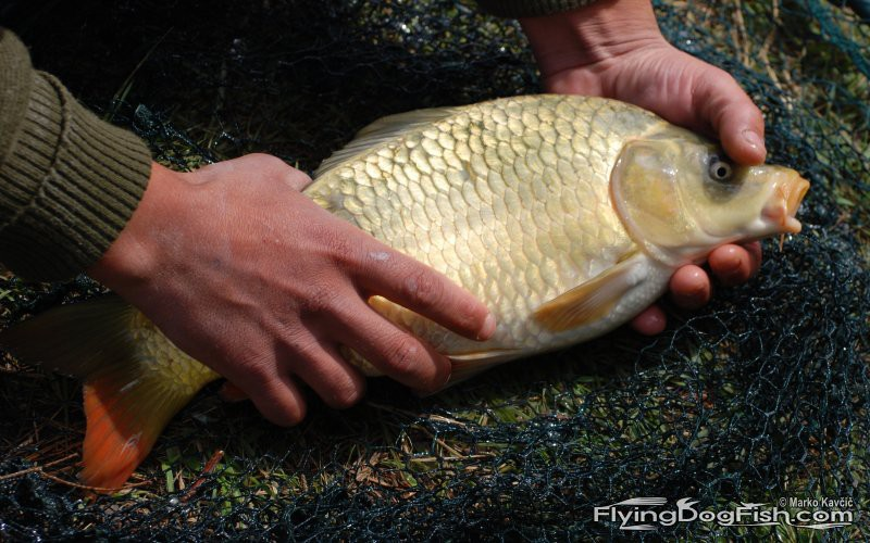 A carp out of the water