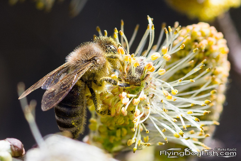 Bee on a willow catkin