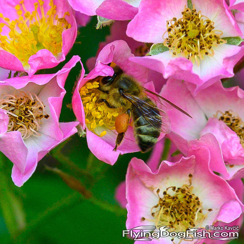 Bee in a dog rose