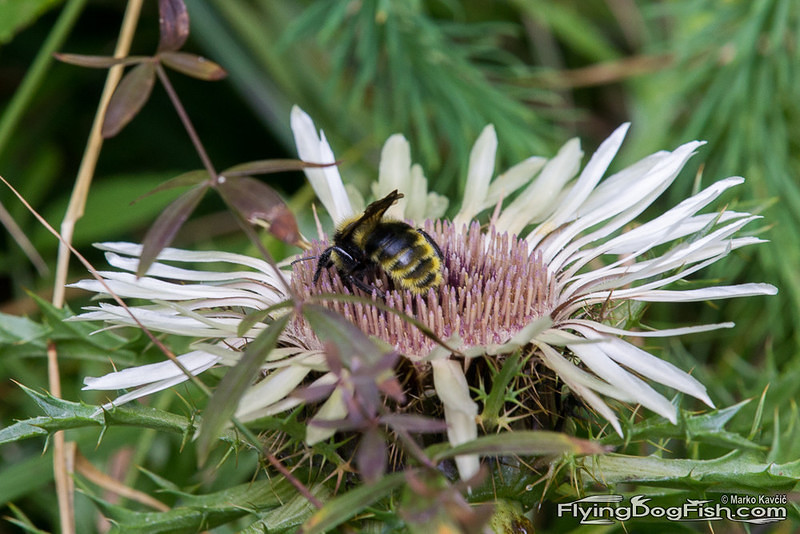 Bumblebee on silver thistle