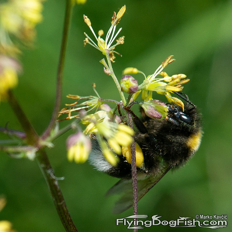 Bumblebee under flower