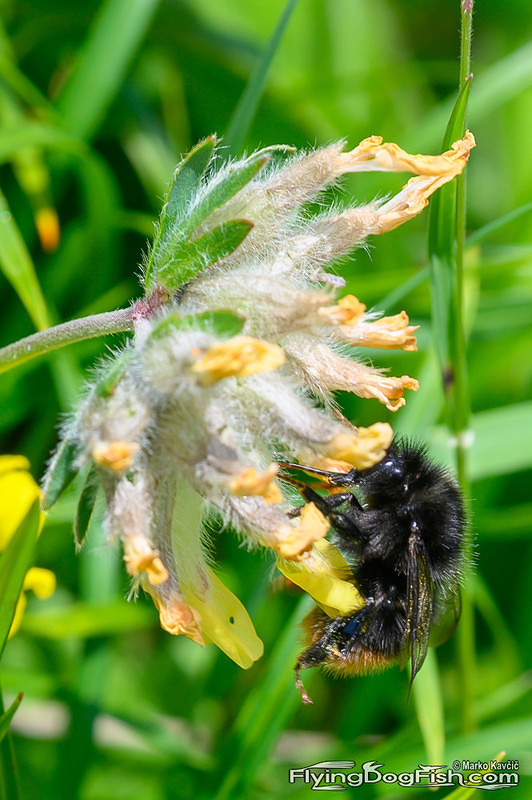 Bumblebee on a kidney vetch
