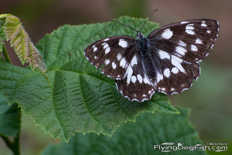 Marbled white on a leaf