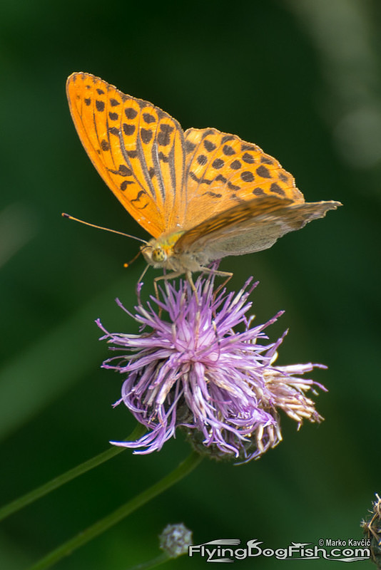 Silver washed fritillary on a flower