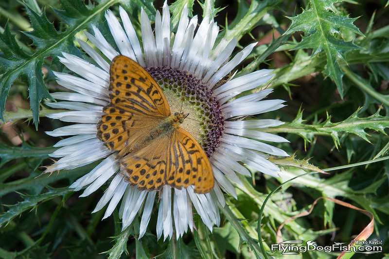 Silver washed fritillary covering silver thistle
