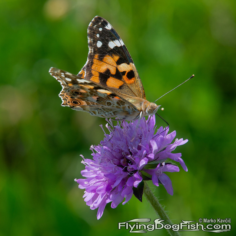 Painted lady on a purple flower