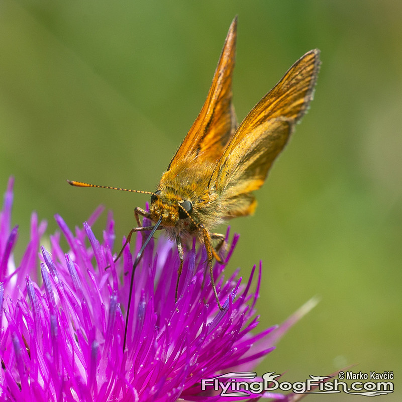 Essex skipper on a thistle