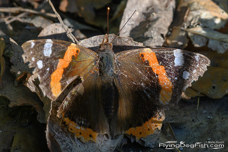 Battered red admiral