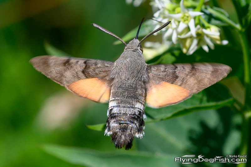 Hummingbird hawk-moth from behind