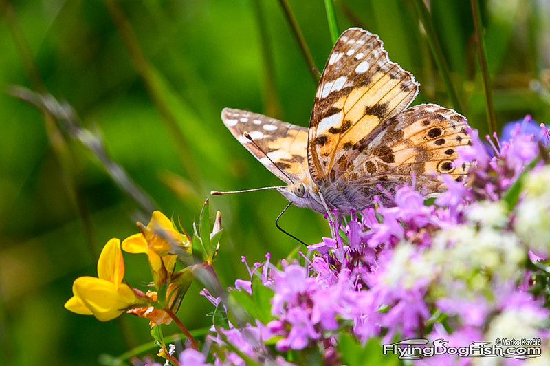 Fading painted lady