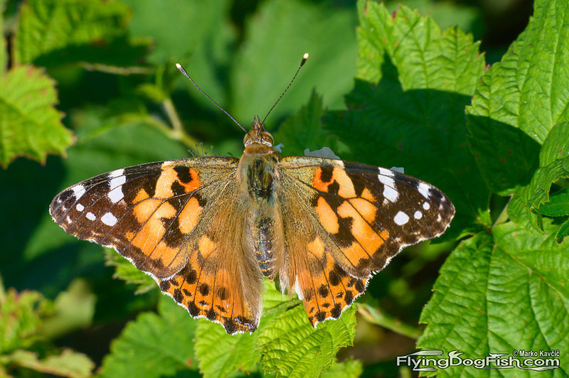 Painted lady on blackberry leaves