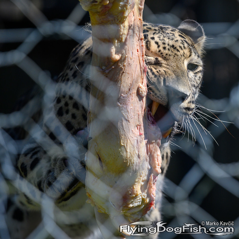 Leopard's lunch