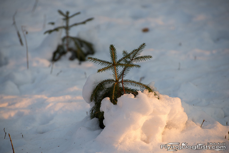 Baby spruce peaking out of snow