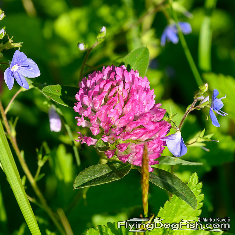 Red clover among blue