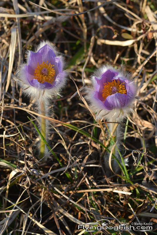 2 greater pasque flowers