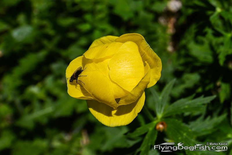 Fly on globeflower