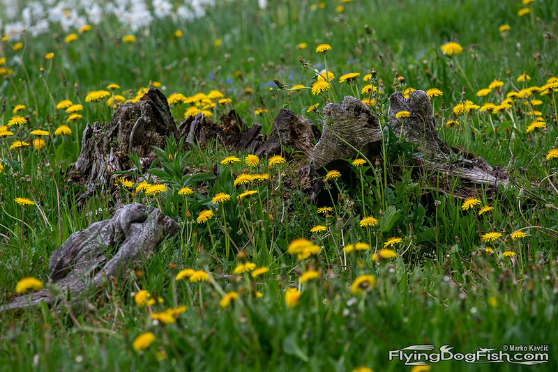 Tree stump and dandelions