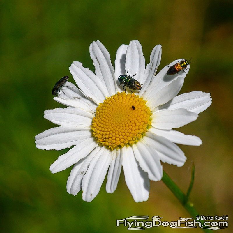 Daisy with shiny bugs