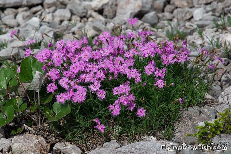 Fringed pinks between stones