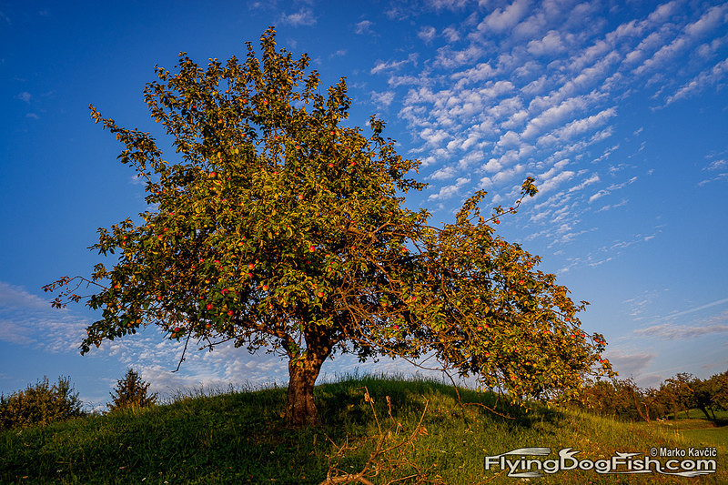 Apple tree and clouds