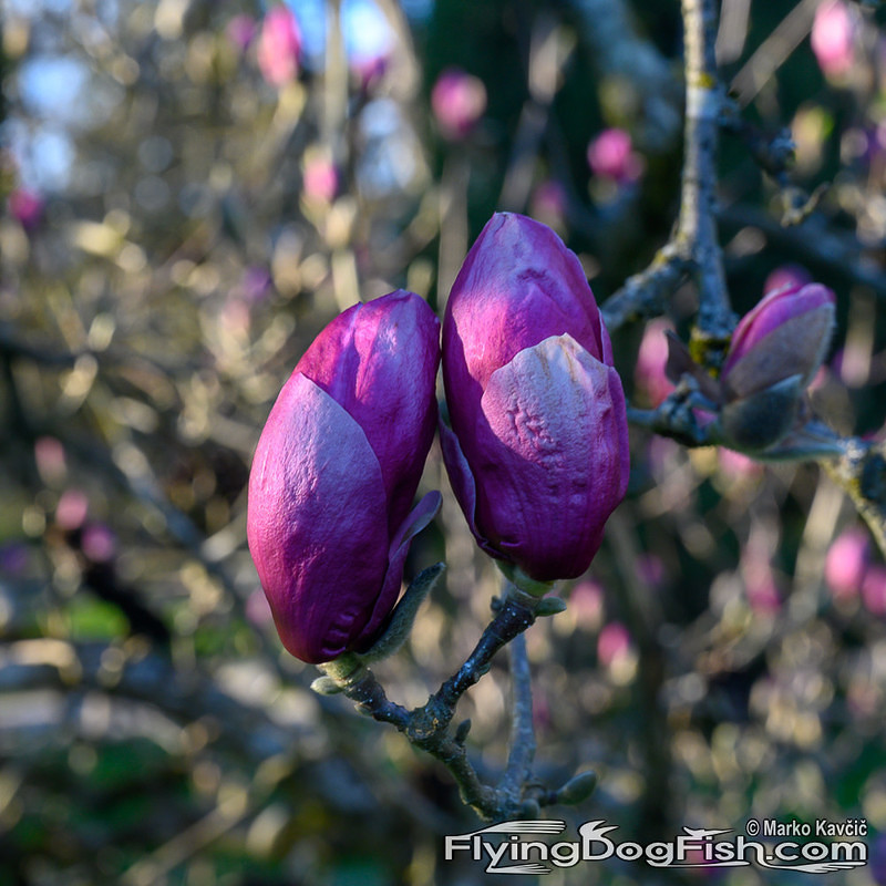 Purple magnolia buds