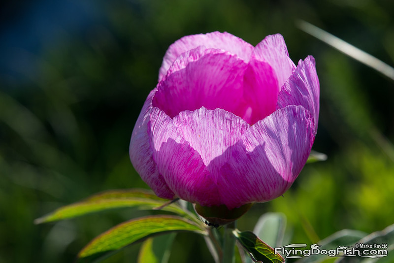 Sun through peony
