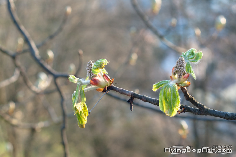 Chestnut buds
