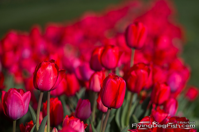 Red tulips disappearing