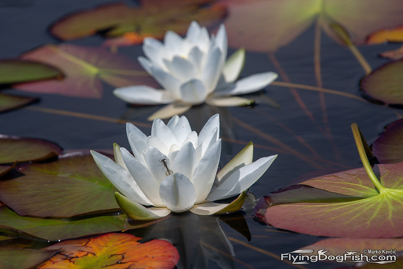 Waterlily in front of another