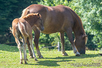 Foal following mom
