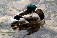 Duck checking its feathers