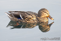 Mallard duck with reflection