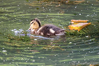 Little duckling swims