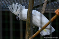 White cockatoo with extended crest