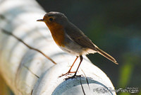 Robin on a wooden guard rail