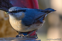 Wood nuthatch with food