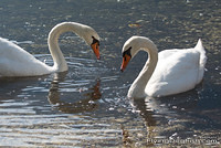 Swans facing each other