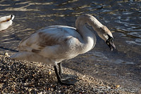 Young swan eating