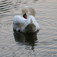 Swan with an itch