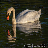 Swan in the evening light