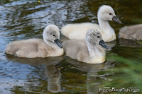Three cygnets