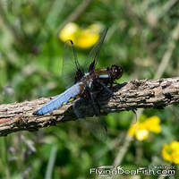Blue dragonfly on a branch
