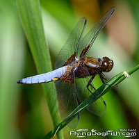 Broad-bodied chaser on grass