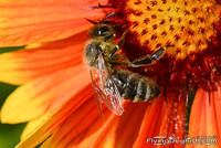 Bee on bright orange